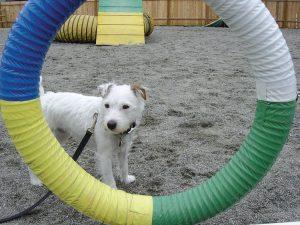 Yumi in agility class